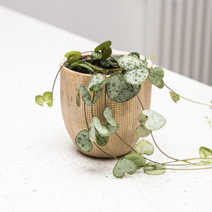 Planter No 140 Textured Gold And String Of Hearts Plant - terrariums