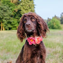 Meadow Peony And Rose Floral Flower Dog Collar