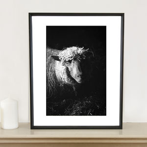 Ewe In Barn, Suffolk Photographic Art Print