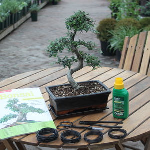 15 Year Old Bonsai Tree Premium Gift Set
