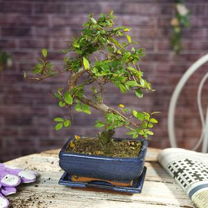 Chinese Elm Bonsai Tree With Decorative Pot