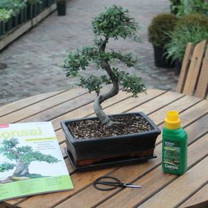 15 Year Old Bonsai Tree Gift Set