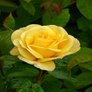 50th Golden Anniversary Rose Happy Golden Wedding