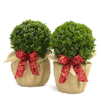 Pair Of Buxus Topiary Balls