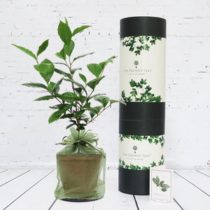 Tea Plant Gift Set - gifts for her