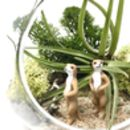 Meerkat Air Plant Terrarium Kit
