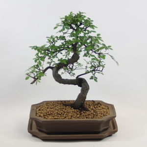 Bonsai Tree In Unglazed Pot And Matching Tray