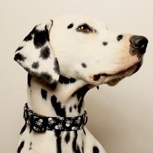 Skull And Crossbones Dog Collar - dogs