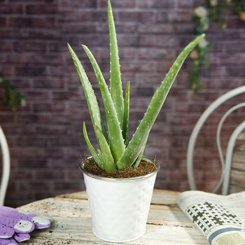 Aloe Vera Ideal Gift In 15cm White Dimpled Pot