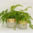Matte Gold Detail Cement Planter