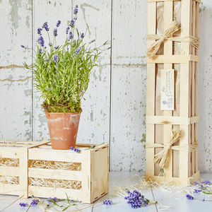 Fragrant Lavender Gift - flowers & plants