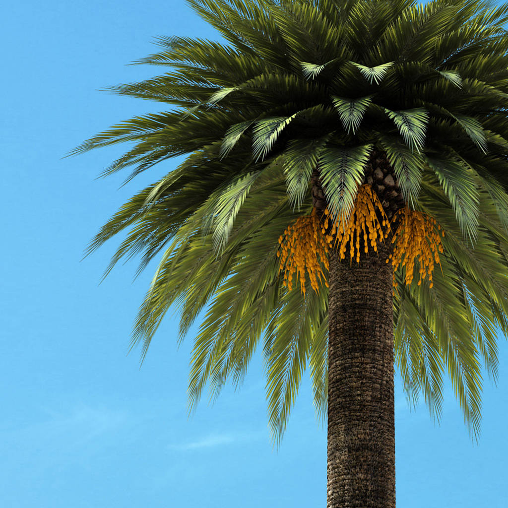 How to grow a date palm