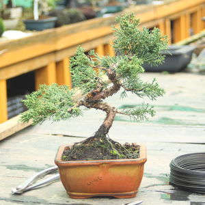 Bonsai Tree And Book: Chinese Juniper