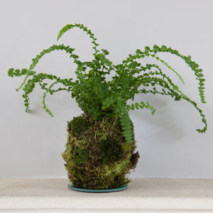 Fern Kokedama - home accessories