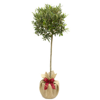 Plant Gifts Large Olive Tree