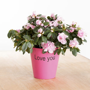 Pink Azalea With Personalised Pot