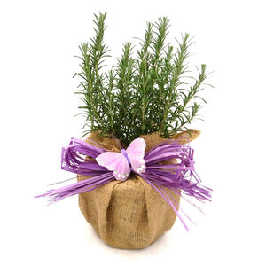 Easter Plant Gifts Aromatic Rosemary Bush