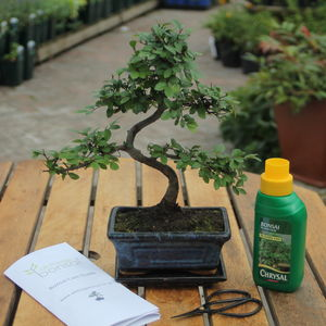 Eight Year Old Bonsai Tree Basic Gift Set - plants & trees