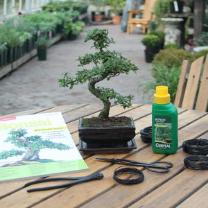 Eight Year Old Bonsai Tree Premium Gift Set