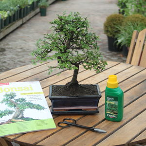 12 Year Old Bonsai Tree Superior Gift Set