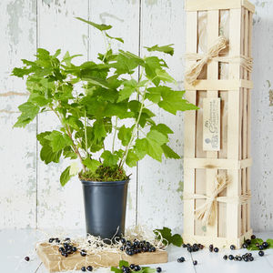Fruity Blackcurrant Bush Gift - gifts for fathers