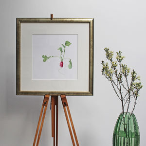 Botanical Watercolour With French Radish Illustration