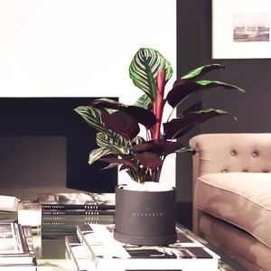 Calathea House Plant In Gift Box - the greenhouse edit