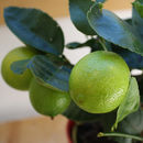 Tahiti Lime Fruits