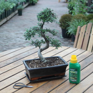 15 Year Old Bonsai Tree Basic Gift Set