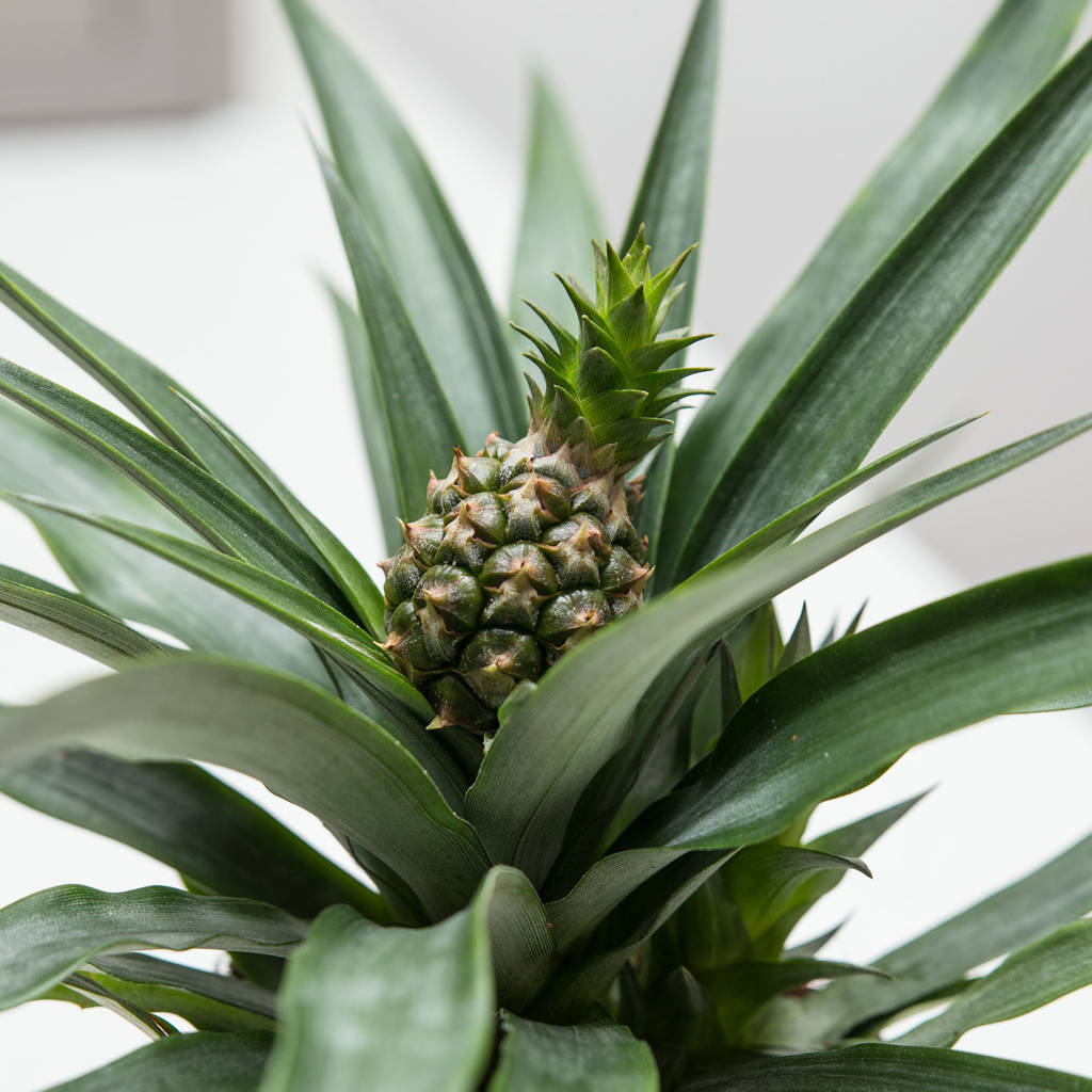 pineapple plant ananas champaca by stupid egg interiors. Black Bedroom Furniture Sets. Home Design Ideas