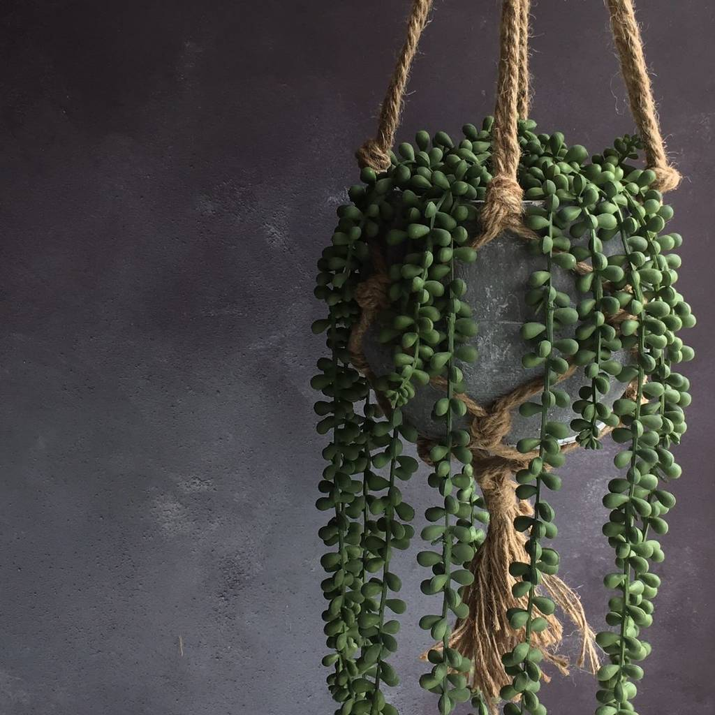 Picture of Live String of Pearls aka Senecio rowleyanus Foliage Hanging Plant Fit 5GAL Pot