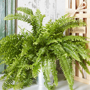 Fern House Plant - housewarming gifts