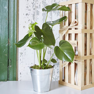 Monstera House Plant - 50th birthday gifts