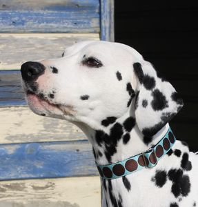 Nelson Spotty Dog Collar