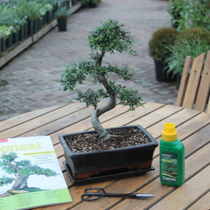 15 Year Old Bonsai Tree Superior Gift Set
