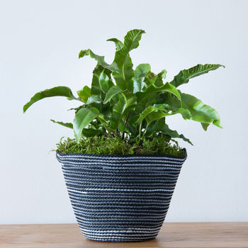 Fern In Handwoven Planter