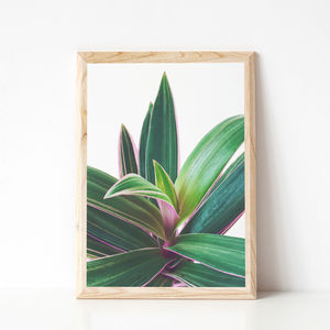 Oyster Plant Photographic Print - the greenhouse edit