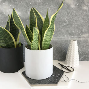 Snake Plant / Mother In Law's Tongue House Plant - new season homeware