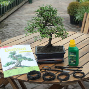12 Year Old Bonsai Tree Premium Gift Set