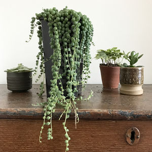 String Of Pearls House Plant - what's new