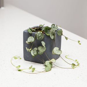 Charcoal Concrete Plant Pot With String Of Hearts Plant - flowers, plants & vases