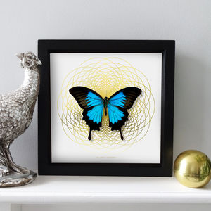 'Spiro' Mounted Real Ulysses Butterfly