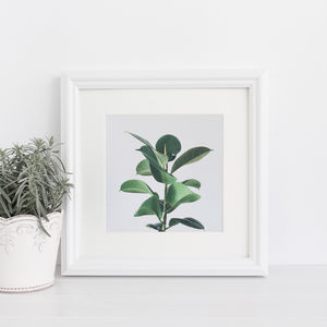 Rubber Fig Botanical Photographic Print
