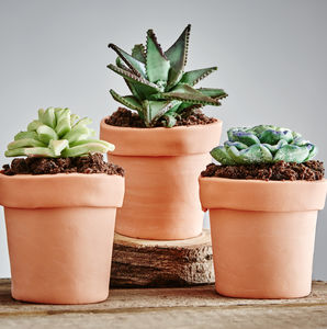 Trio Of Edible Succulents - handpicked for autumn gifts