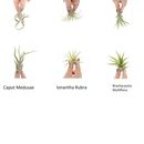 Air Plant Mix by PASiNGA