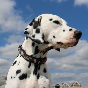 Sid Skulls Dog Collar - pet collars