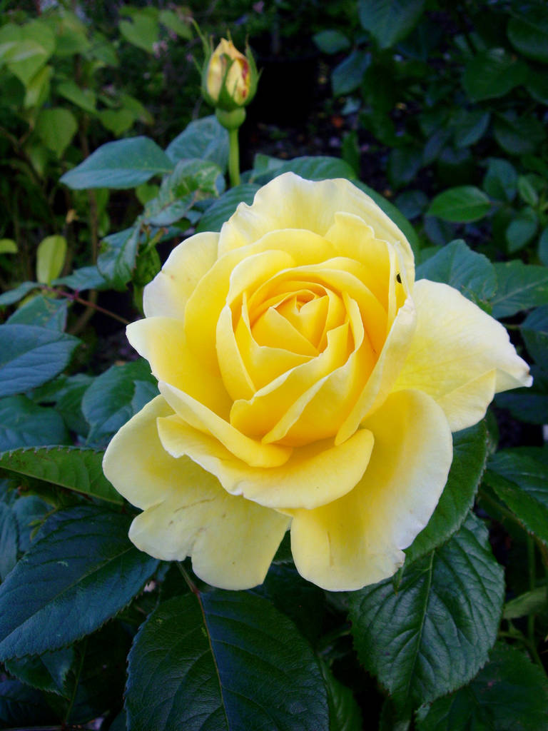 rose golden 50th anniversary rose by giftaplant ...