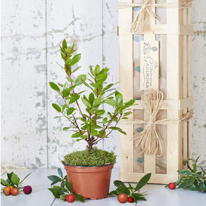 The Evergreen Strawberry Tree Gift