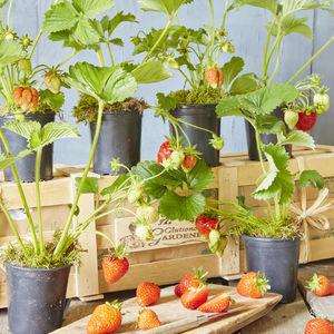 Grow Your Own Strawberry Jam Gardening Gift - gardening