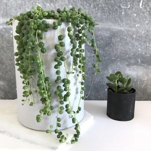 'String Of Pearls' Houseplant - new in garden